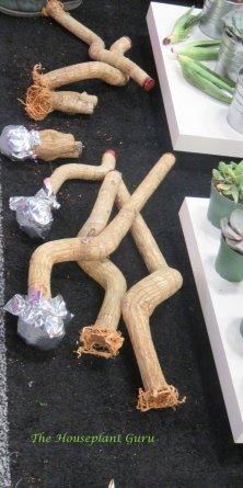 Dracaena canes