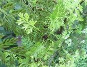 Mother Fern (Asplenium bulbiferum)