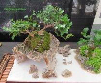 Natal Plum (Carissa macrocarpa) on rocks
