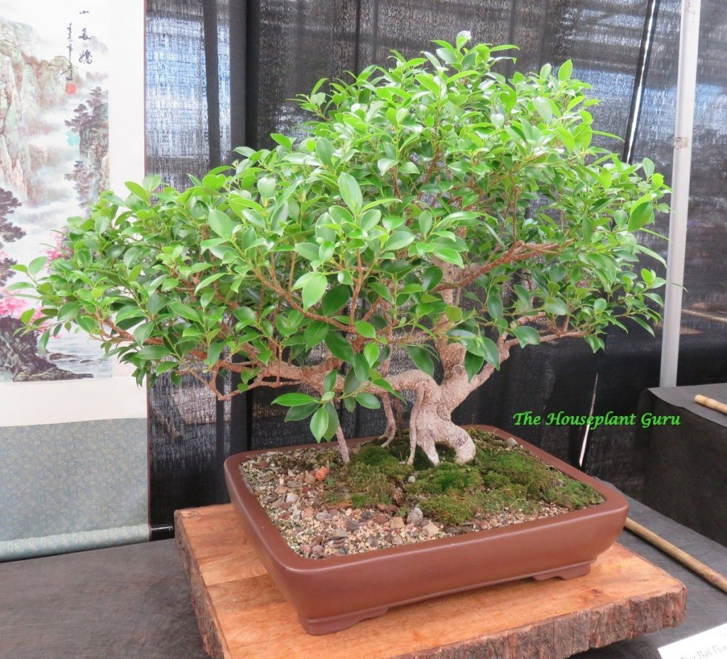 Tiger Bark Ficus (Ficus microcarpa) bonsai