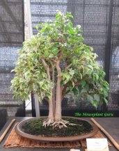 Variegated Weeping Fig (Ficus benjamina ) bonsai