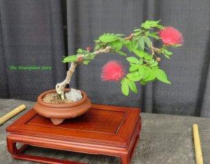 Powderpuff bonsai (Calliandra haematocephala)