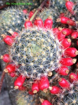 Cactus with fruits present after flowers fell off