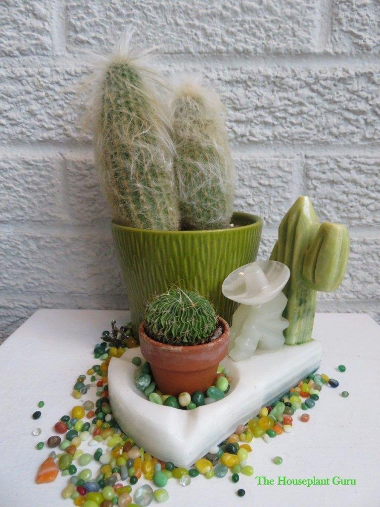 Stenocactus (brain cactus) and espostoa melanostele (Peruvian Old Lady)