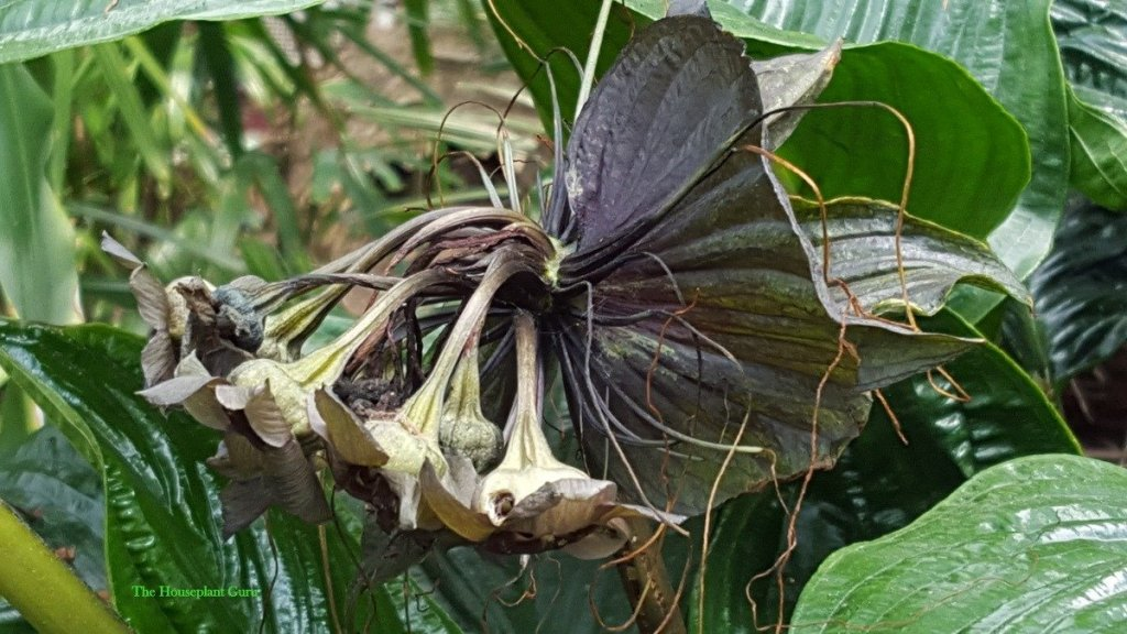 Tacca chantrieri or black bat flower at Belle Isle conservatory