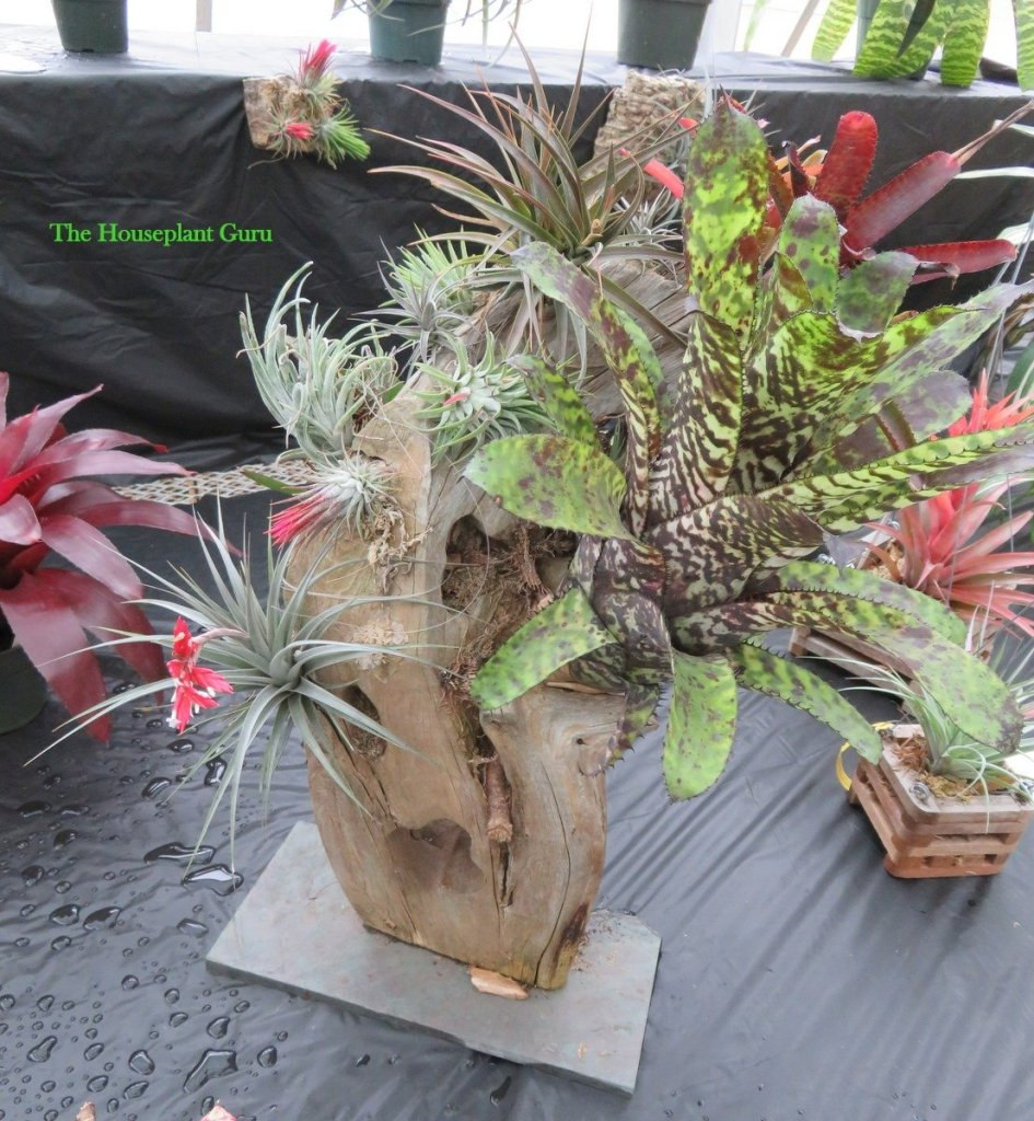 A decorative stump covered with assorted bromeliads 2016