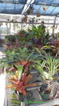 A collection of bromeliads for sale 2015