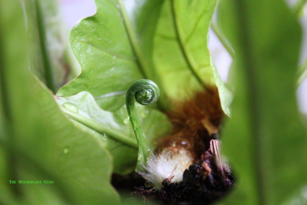 Aglaomorpha coronans 'India' crozier coming off the rhizome