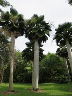 Palms at the Fairchild Botanical Garden