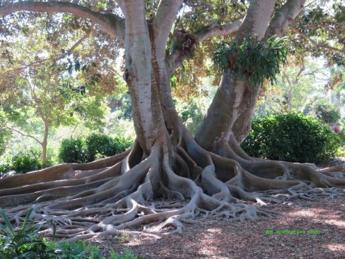 Ficus macrophylla at Marie Selby