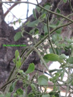 White berries on the mistletoe