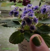 Optimara 'Little Moonstone' African violet