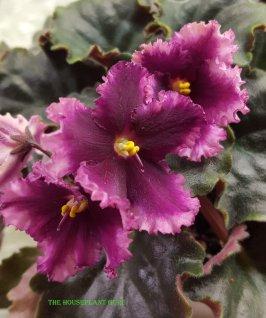 'Ever Love' African violet