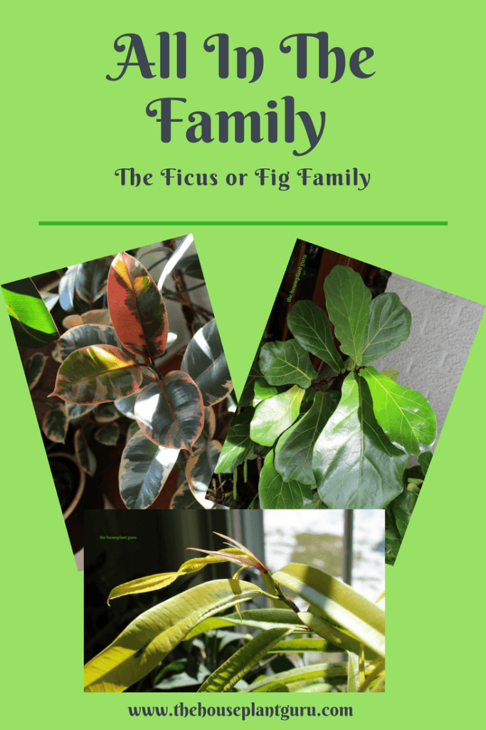 All In The Family- Ficus or Fig