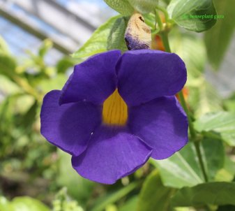 Blue Clock Vine Thunbergia battiscombei