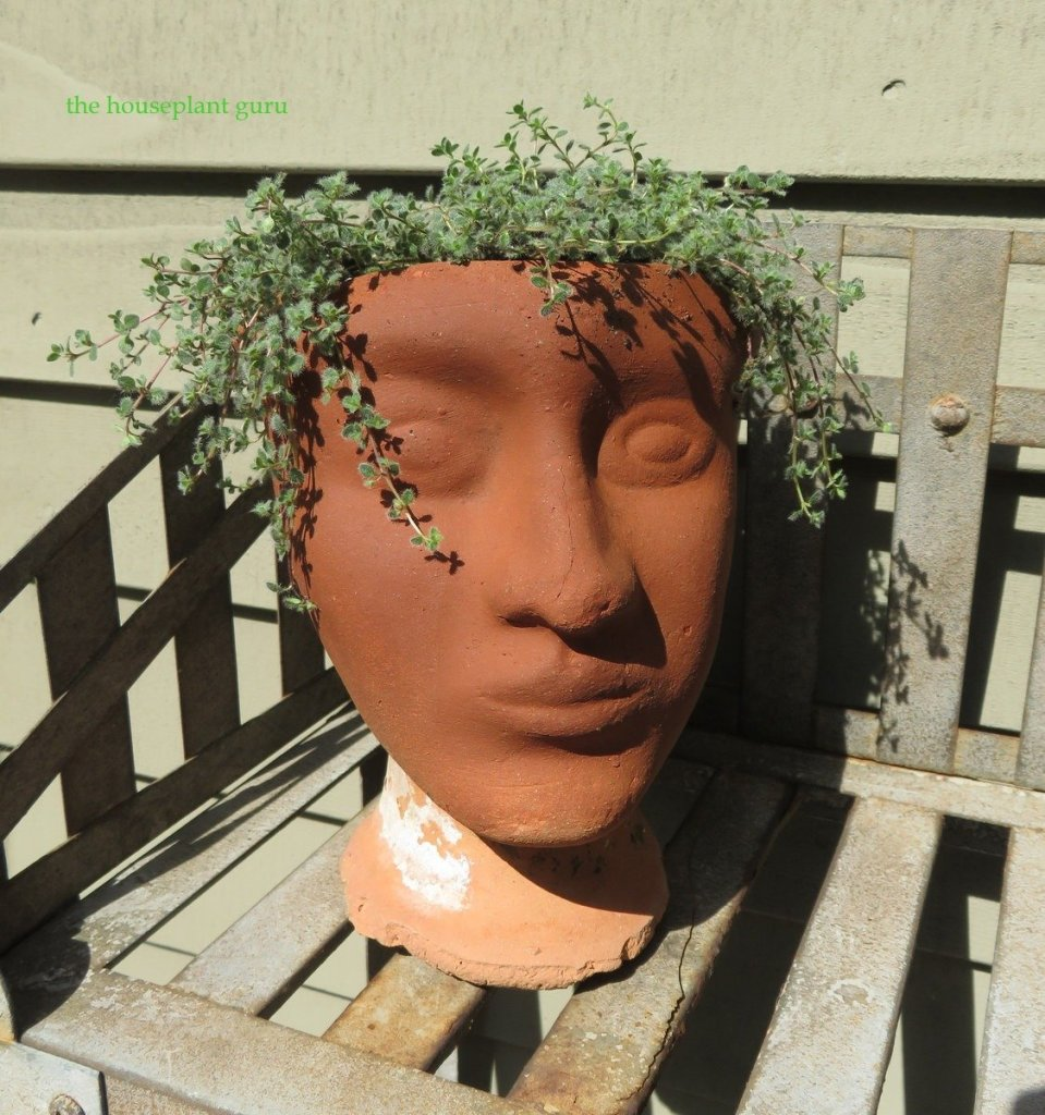 A head vase full of wooly thyme on a garden walk