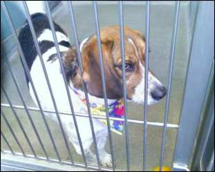 Jasmine at Chicago shelter, ready for adoption.
