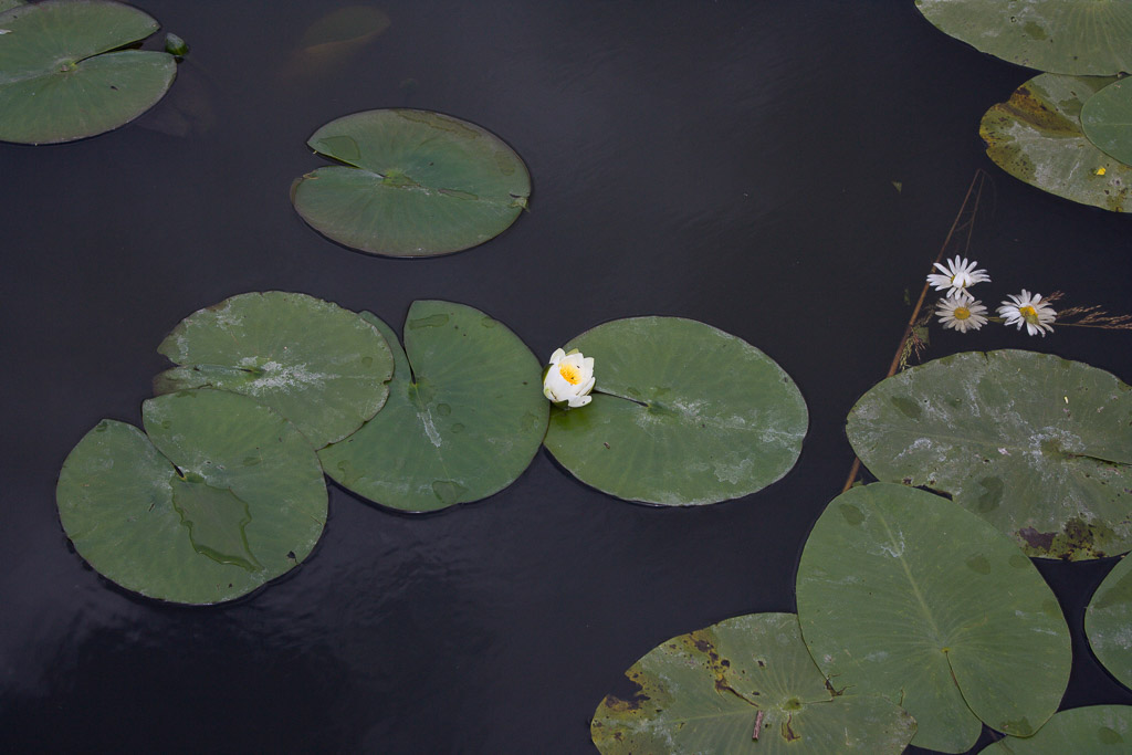 Lily pads in Kinderdijk, Rotterdam Wellness Travel Guide
