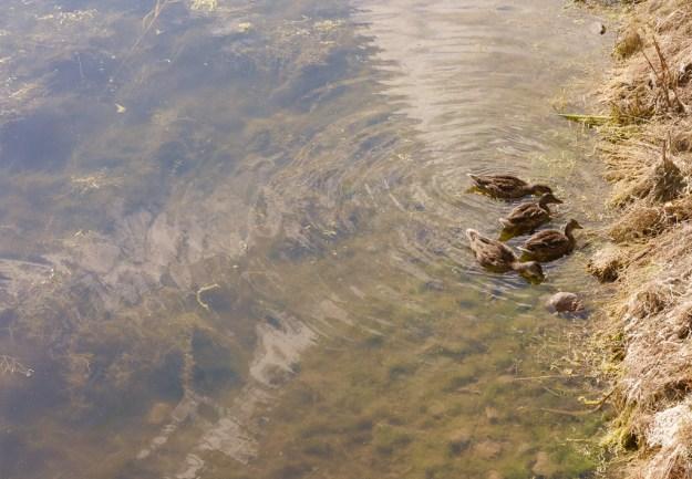 Ducks on Kuressaare Moat, Estonia
