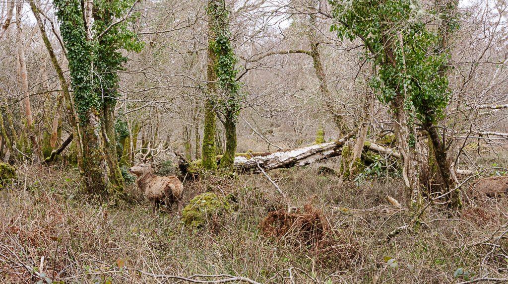 Killarney National Park Walks - Red Deer