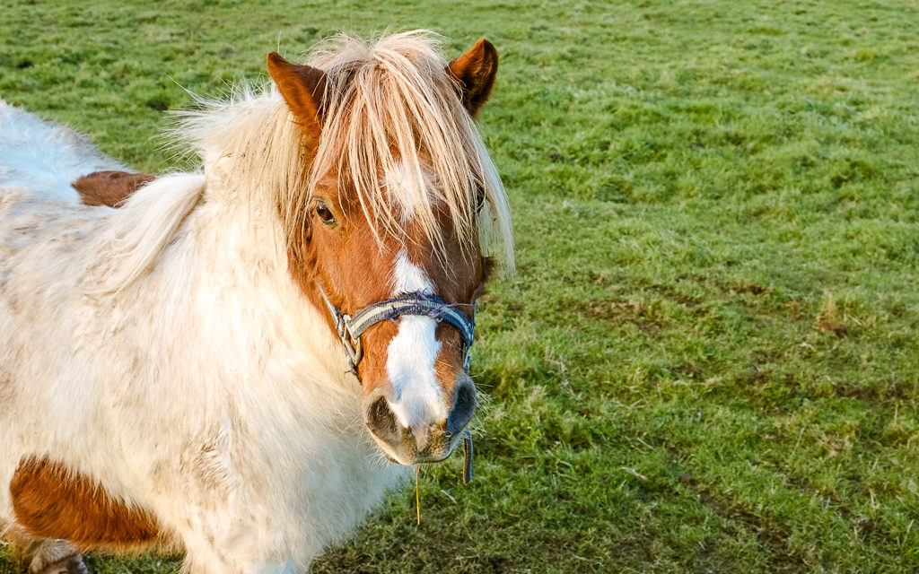 pony at Rock Farm Slane, ecotourism in Ireland