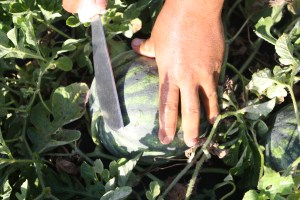 cutting watermelons