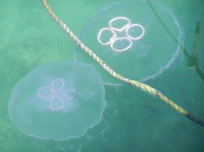 Jellyfish, Piran Harbour, Slovenia