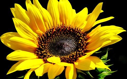 sunflowers_sunflower_yellow_flower_q_1920x1200