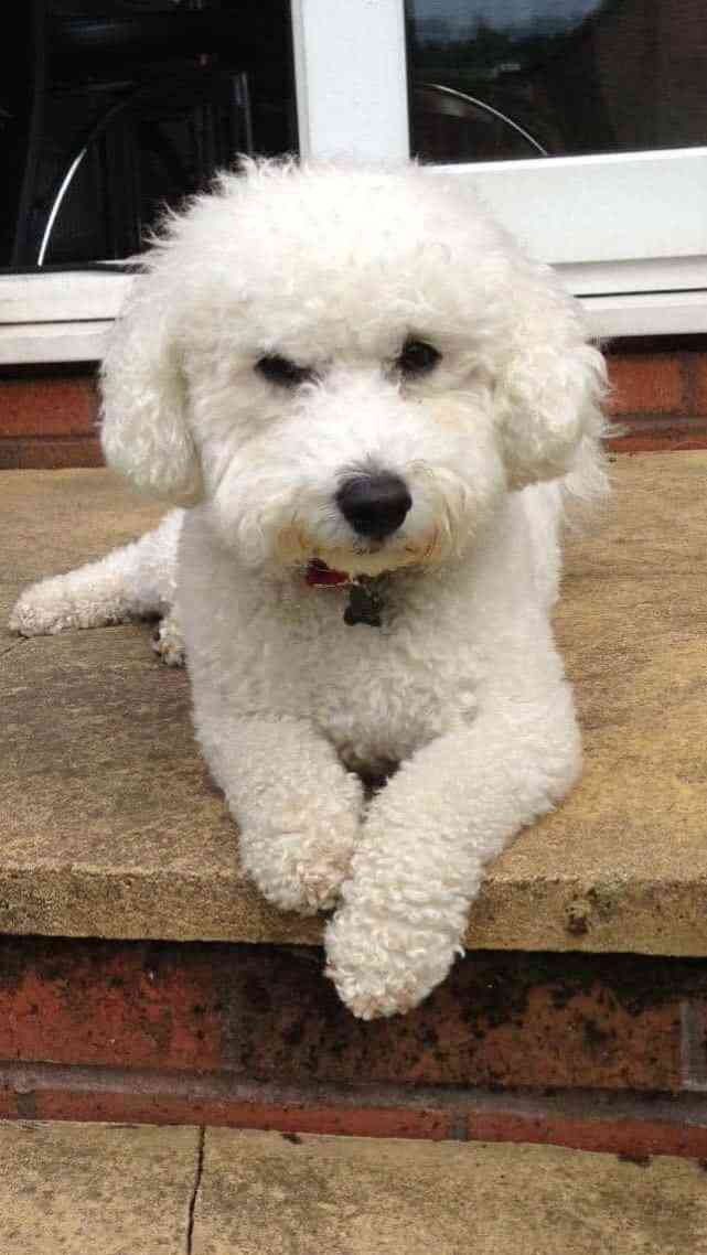 Bichon Frise dog