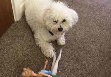 bichon and barbie