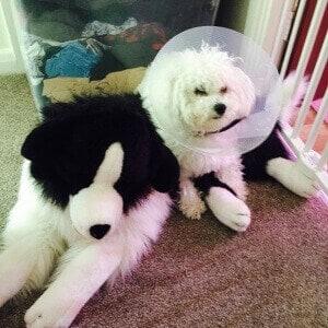 poorly bichon dog