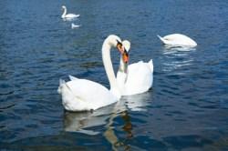 swans in hydepark