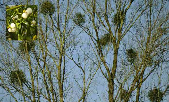 Clumps of Mistletoe growing on trees - The Irish Place