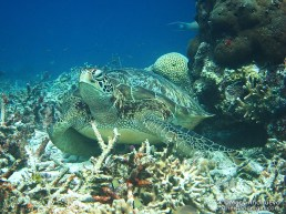Green sea turtle is not impressed