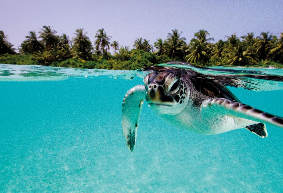 Turtle at Amillafushi