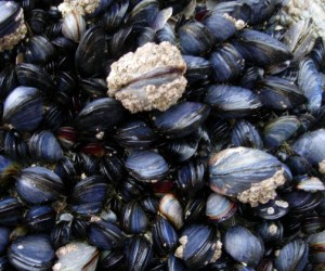 plastic pollution mussels
