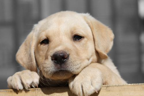 "Lab Puppy ""Nala"""