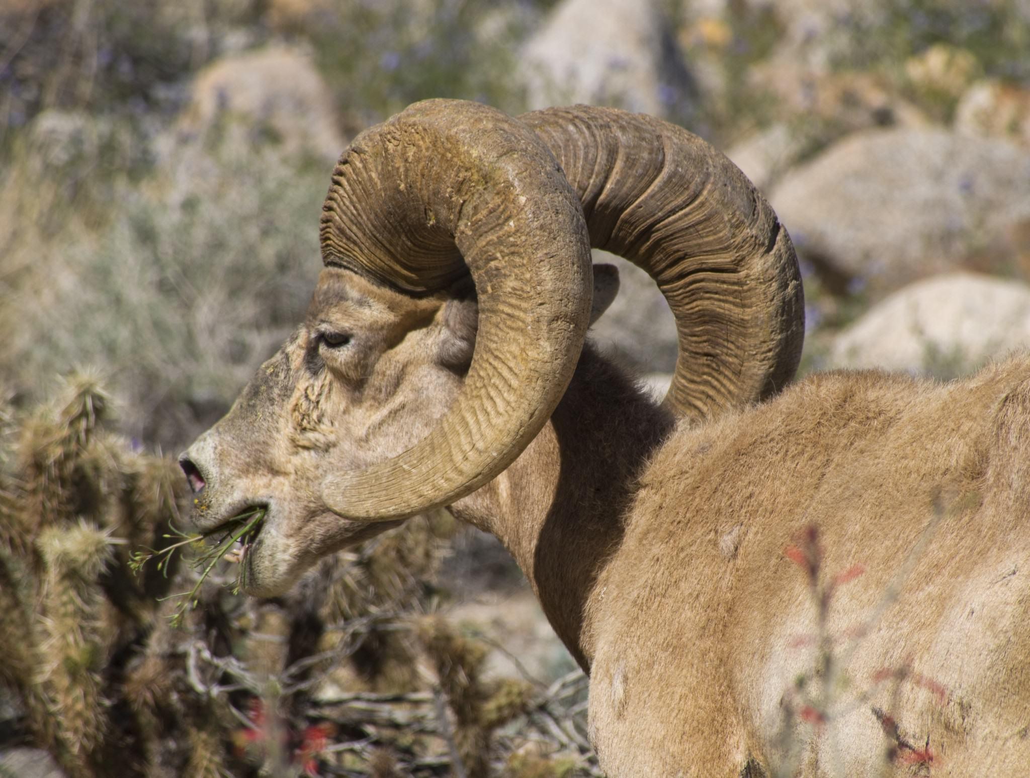 bighorn-sheep-1151834