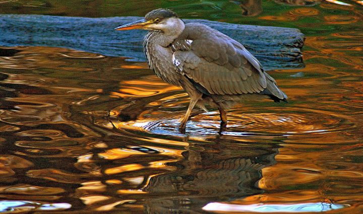 Heron in sunset pool of water
