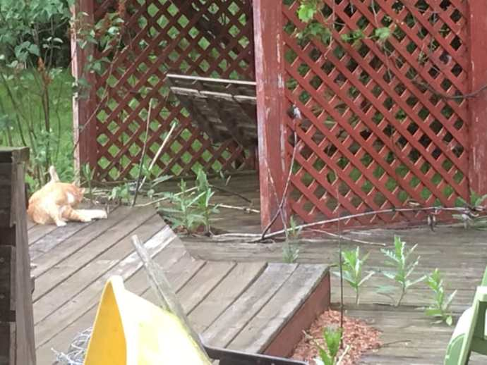 The Orange and white cat (white is mostly on his underside) cleaning himself on my deck.