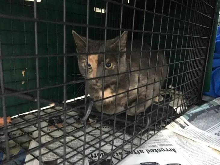Cat named Callie in a humane trap