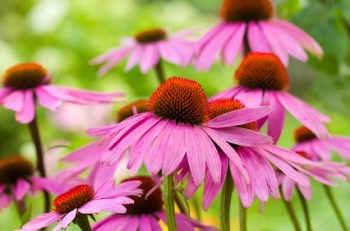 ECHINACEA: The best Natural Antibiotics