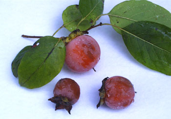Image result for american ripe persimmons