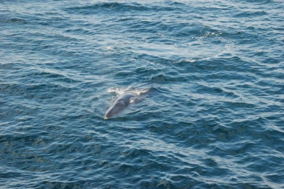 Minke Whale Faxaflói 139, dram/mcvth, kasaan media, 2018 Minke Whale Faxaflói 139, dram/mcvth, kasaan media, 2018