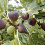 The Time for Figs