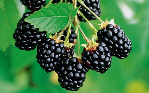 product-thornless-blackberry