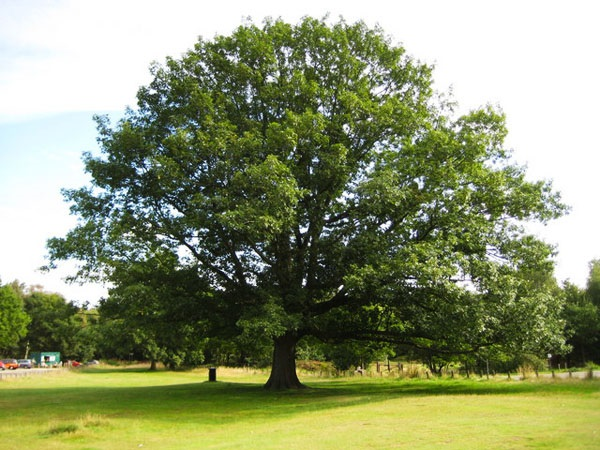 red-oak-tree-01