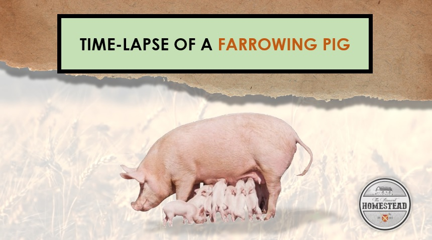 Time-lapse of a Farrowing Pig