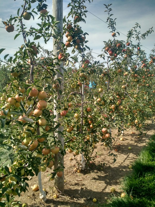 Apple Picking and a Giveaway