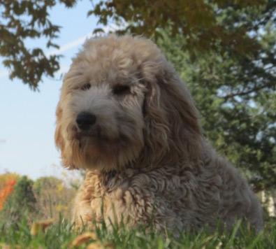 Labradoodle Puppies For Sale Breeder Adoption WI